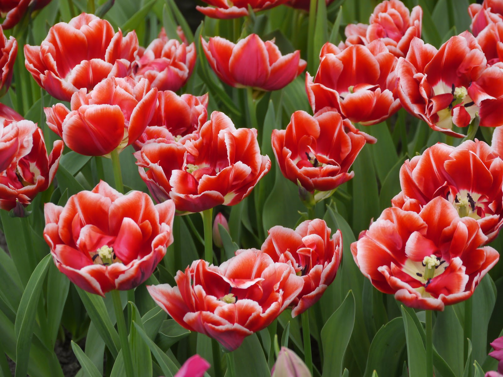 red tulips 12640