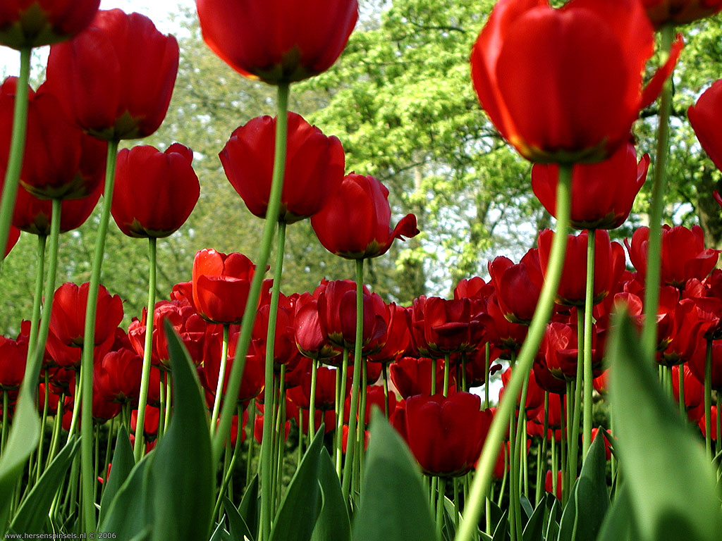 red tulips 12641