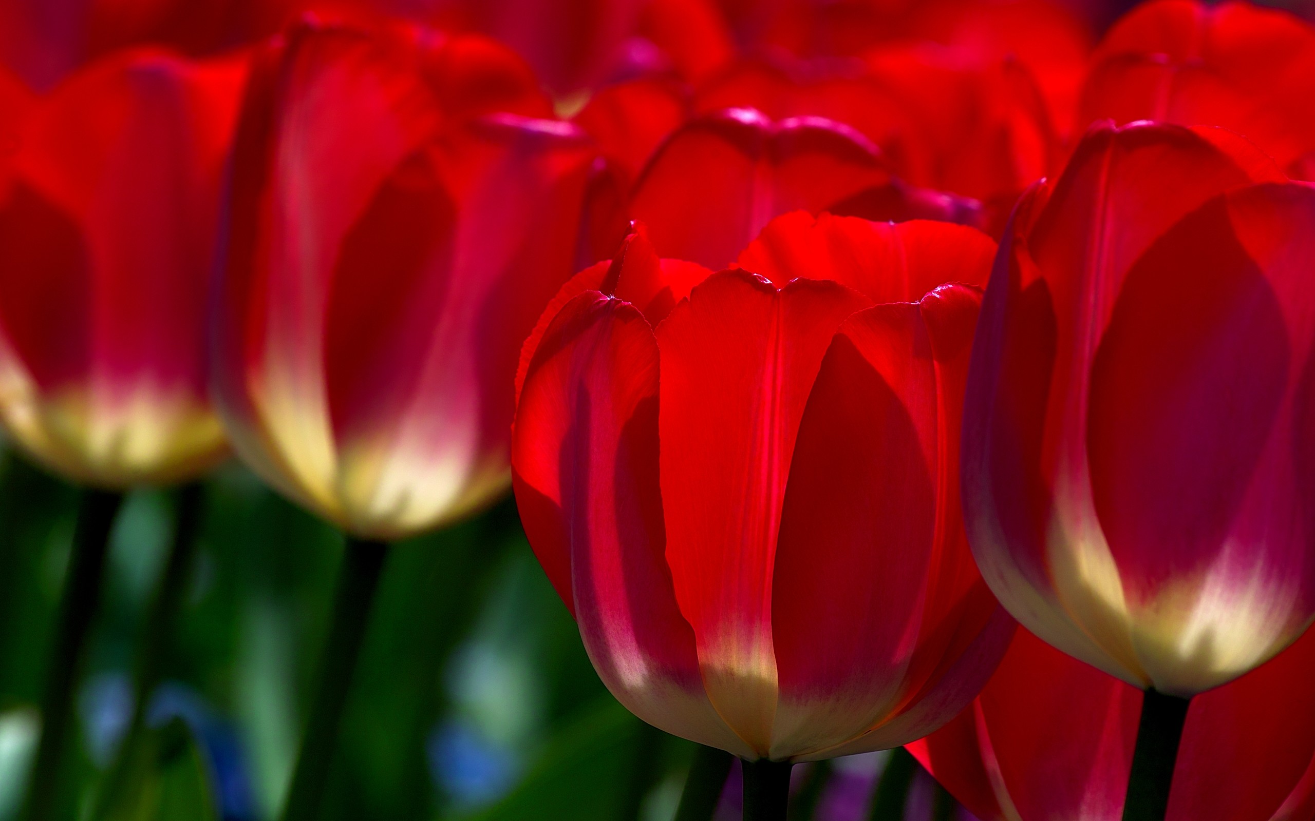 red tulips 12642