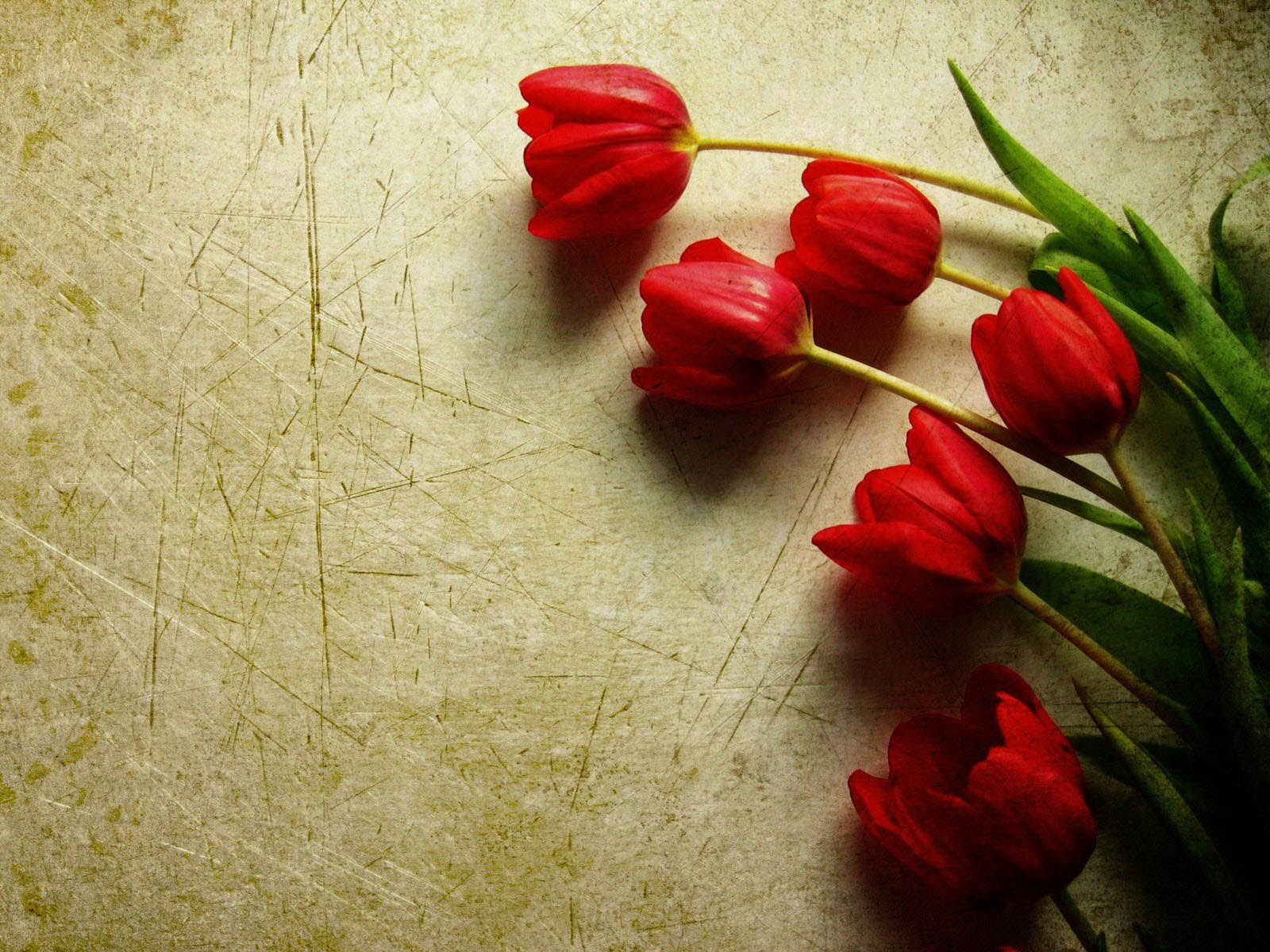 red tulips 12647