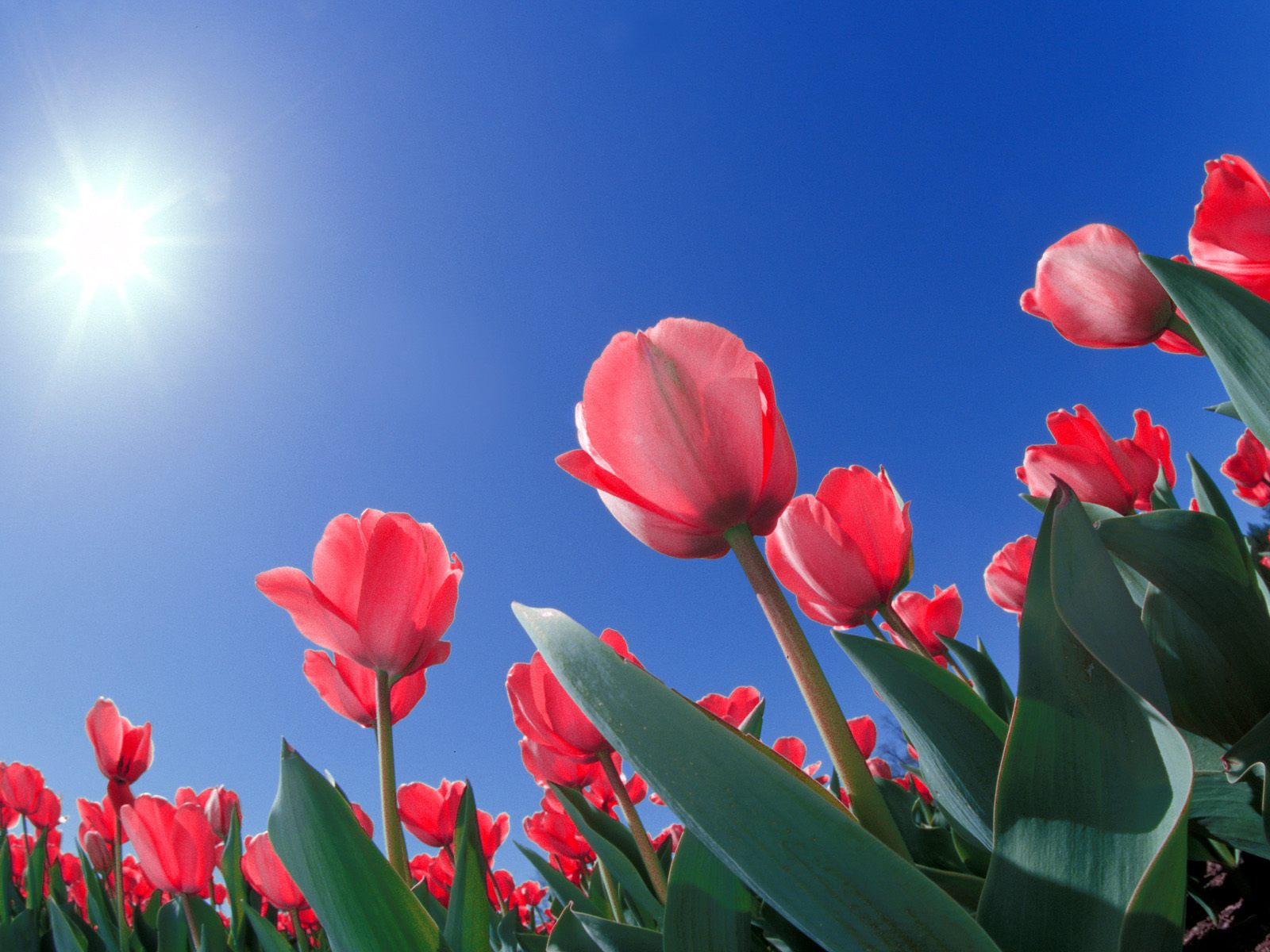 red tulips 12649