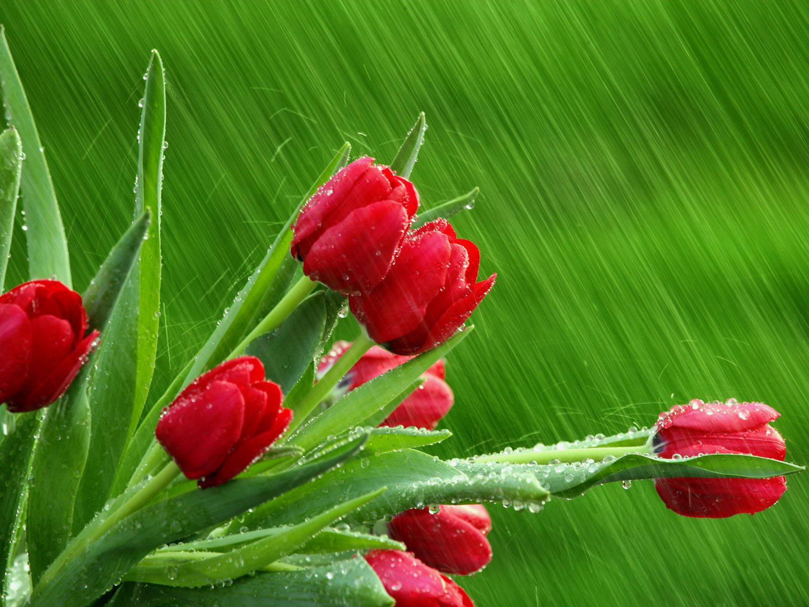 red tulips 12652