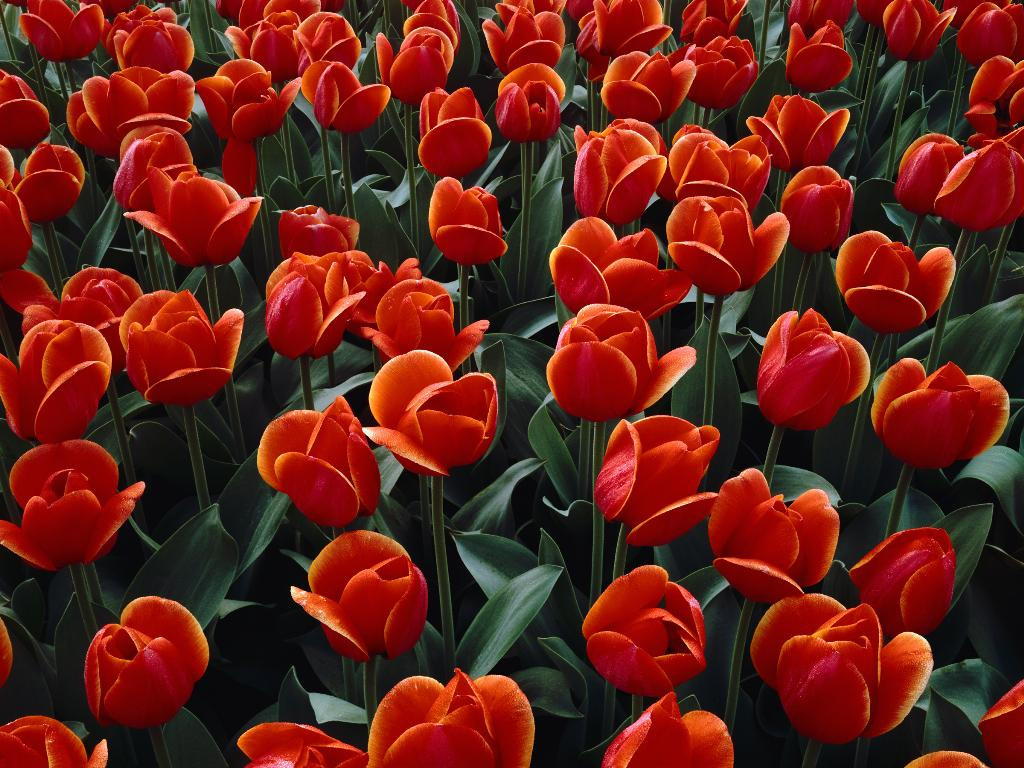 red tulips 12653