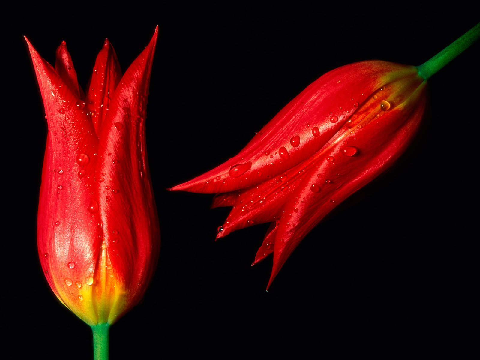 red tulips 12657
