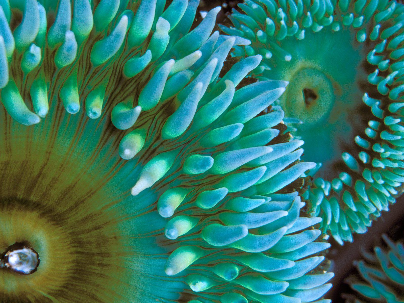 sea anemone computer wallpaper 26027