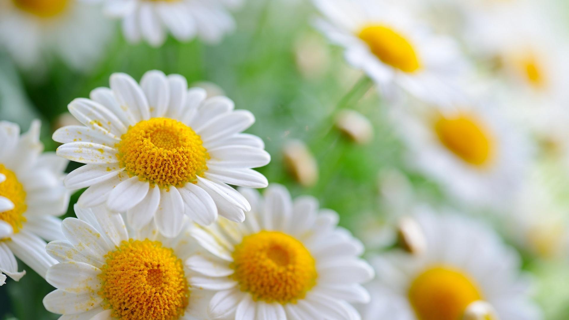 stunning daisies 19747