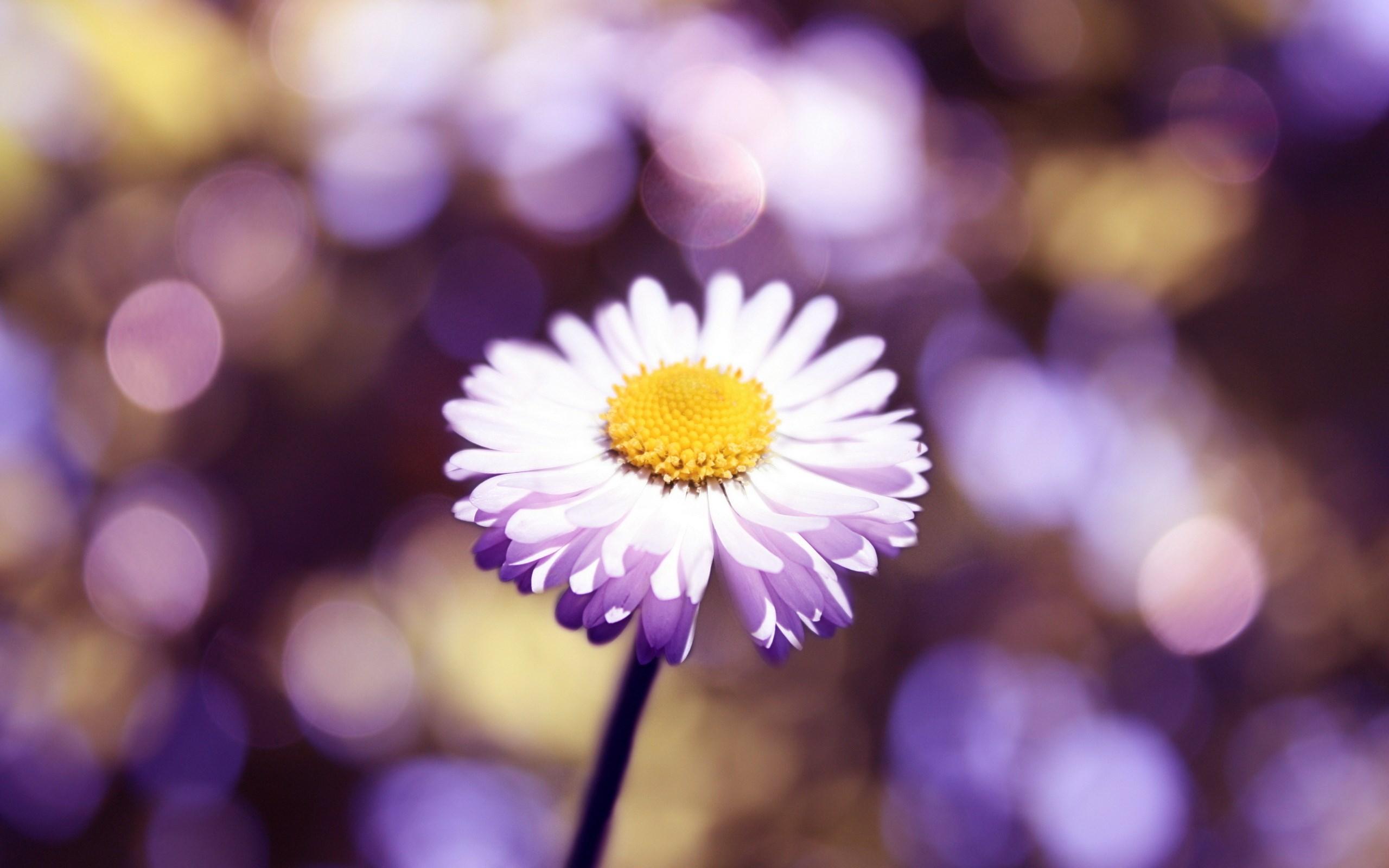 stunning daisy bokeh wallpaper 39247