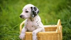 Adorable Dalmatian Wallpaper 33062