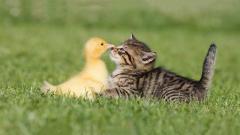 Adorable Duckling Wallpaper 35830