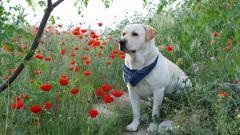 Adorable Labrador 23491