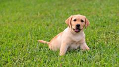 Adorable Labrador Wallpaper 23487