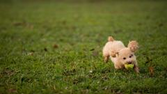 Adorable Poodle Wallpaper 23872
