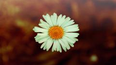 Amazing Daisy Bokeh Wallpaper 39248