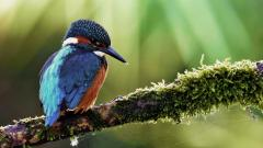 Amazing Kingfisher Wallpaper 38980