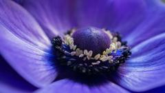 Anemone Flower 26015