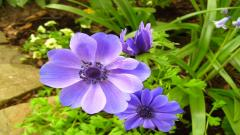 Anemone Flower Wallpaper 26014