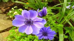Anemone Flower Wallpaper 26014