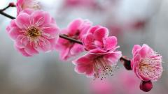 Anemone Flowers 26017