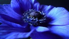 Anemone Flowers 26024