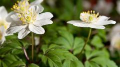 Anemone Flowers 26028