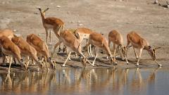 Antelope Background 39534