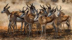 Antelope Wallpaper 39533