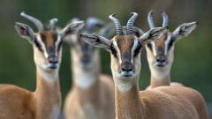 Antelope Wallpaper HD 39531