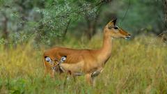 Antelope Wallpapers 39532
