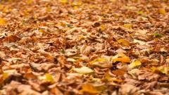 Autumn Leaves 33103