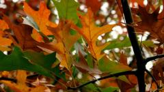 Autumn Leaves 33104