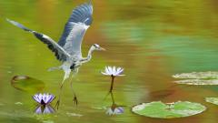 Awesome Heron Wallpaper 41841