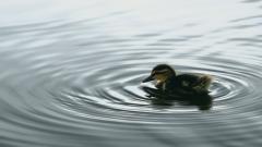 Baby Duck Wallpaper 13933
