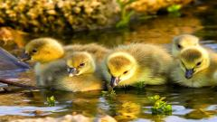 Baby Duck Wallpaper 13934
