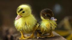 Baby Duck Wallpaper 13936