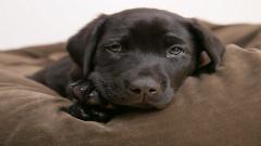 Baby Labrador 23506