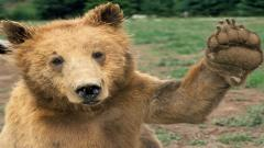 Bears 12985