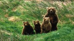 Bears 12996