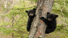 Black Bears Wallpaper 12998