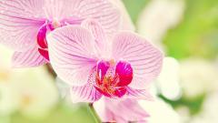 Beautiful Phalaenopsis Wallpaper 39242