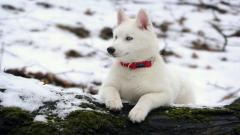 Beautiful White Husky Wallpaper 39655