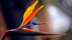 Bird of Paradise Flower 33035