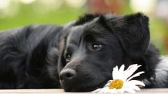 Black Labrador 23483