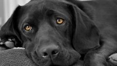 Black Labrador 23498