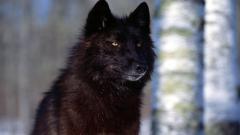 Black Wolf 32444