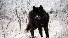 Black Wolf 32448