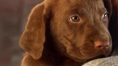 Brown Labrador 23500