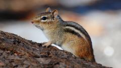 Chipmunk Background 24733