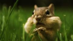 Chipmunk Wallpaper 24722