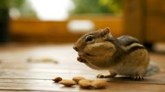 Chipmunk Wallpaper 24725