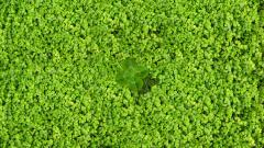 Clover Wallpaper 33054